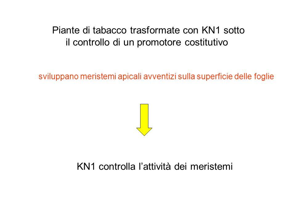 Piante di tabacco trasformate con KN1 sotto il controllo di un promotore costitutivo sviluppano meristemi apicali avventizi sulla superficie delle fog
