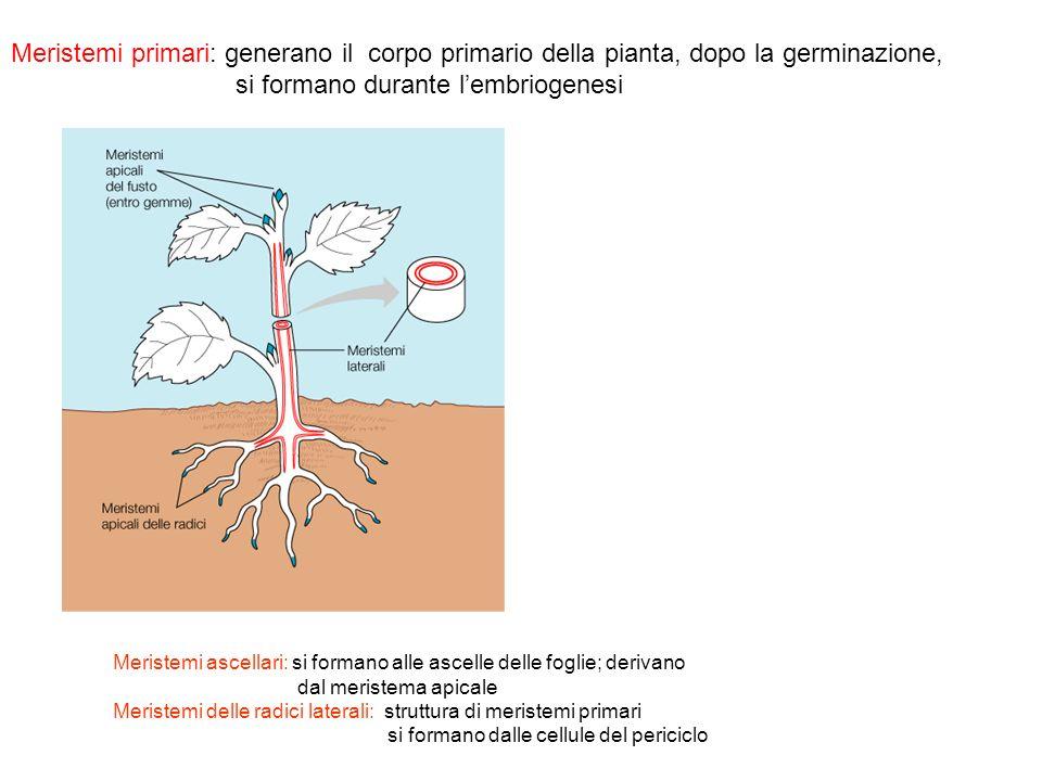 Mutanti SHOOTMERISTEMLESS (stm): STM espresso specificamente nelle cellule che diverranno cellule meristematiche Mutanti stm omozigoti, loss of function, non formano meristema apicale e le cellule si differenziano STM inibisce il processo di differenziamento assicurando che le cellule meristematiche rimangano indifferenziate STM è necessario anche per il mantenimento dellidentità meristematica delle cellule nella pianta adulta