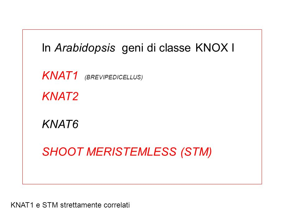 In Arabidopsis geni di classe KNOX I KNAT1 (BREVIPEDICELLUS) KNAT2 KNAT6 SHOOT MERISTEMLESS (STM) KNAT1 e STM strettamente correlati