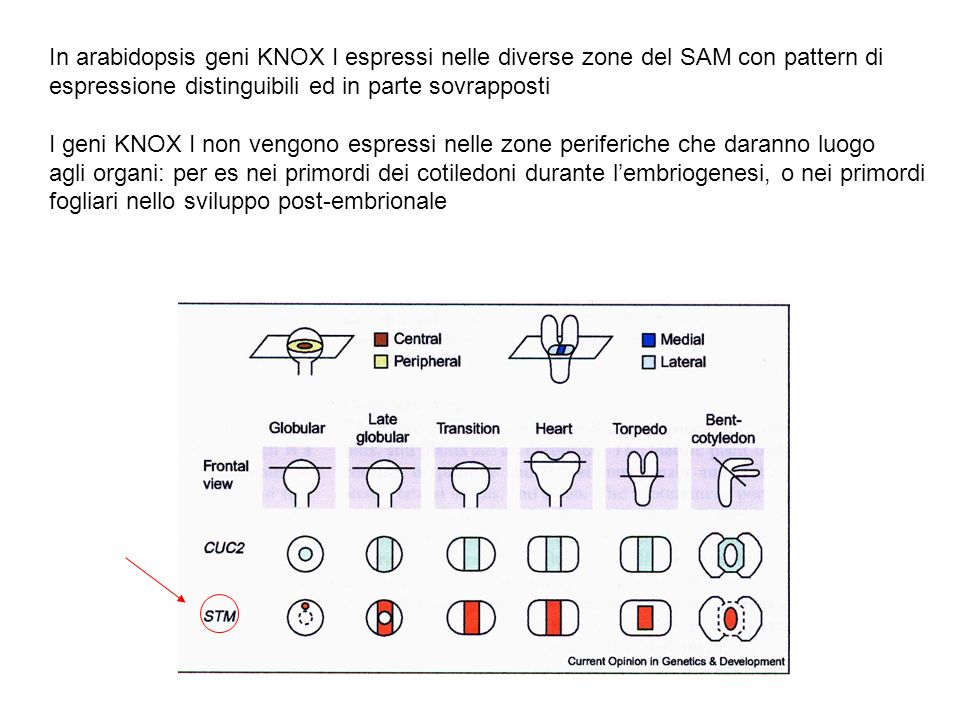 In arabidopsis geni KNOX I espressi nelle diverse zone del SAM con pattern di espressione distinguibili ed in parte sovrapposti I geni KNOX I non veng
