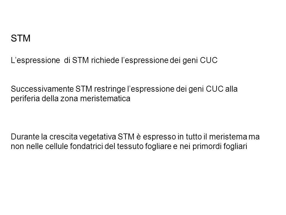 STM Lespressione di STM richiede lespressione dei geni CUC Successivamente STM restringe lespressione dei geni CUC alla periferia della zona meristema
