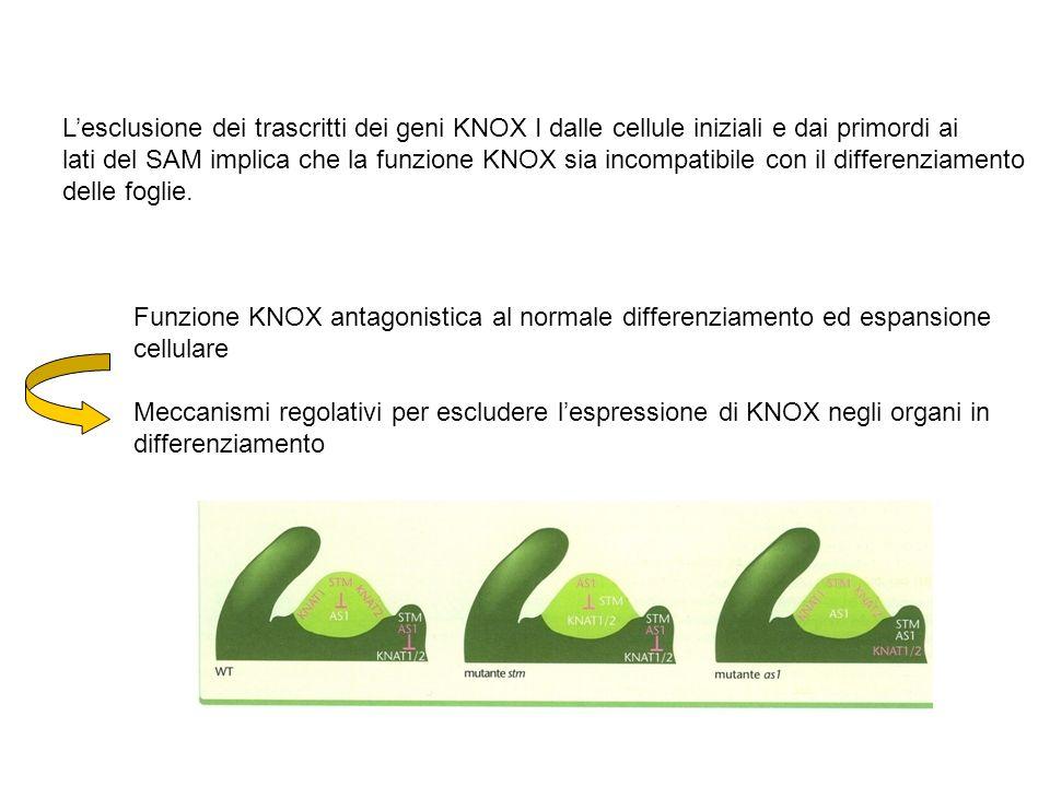 Lesclusione dei trascritti dei geni KNOX I dalle cellule iniziali e dai primordi ai lati del SAM implica che la funzione KNOX sia incompatibile con il