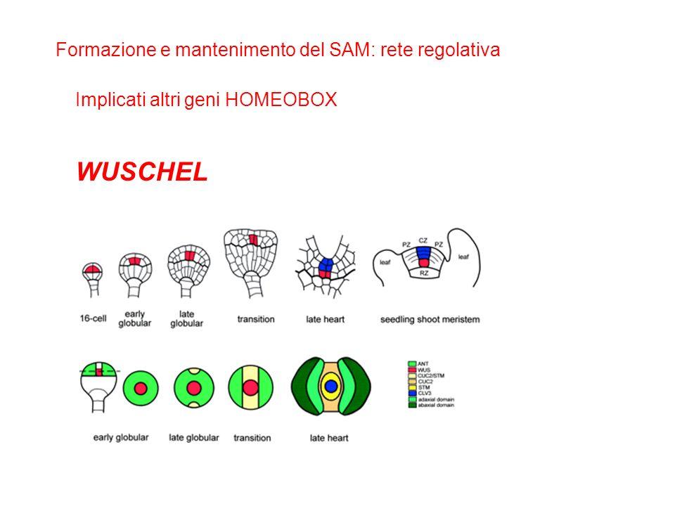 Formazione e mantenimento del SAM: rete regolativa Implicati altri geni HOMEOBOX WUSCHEL