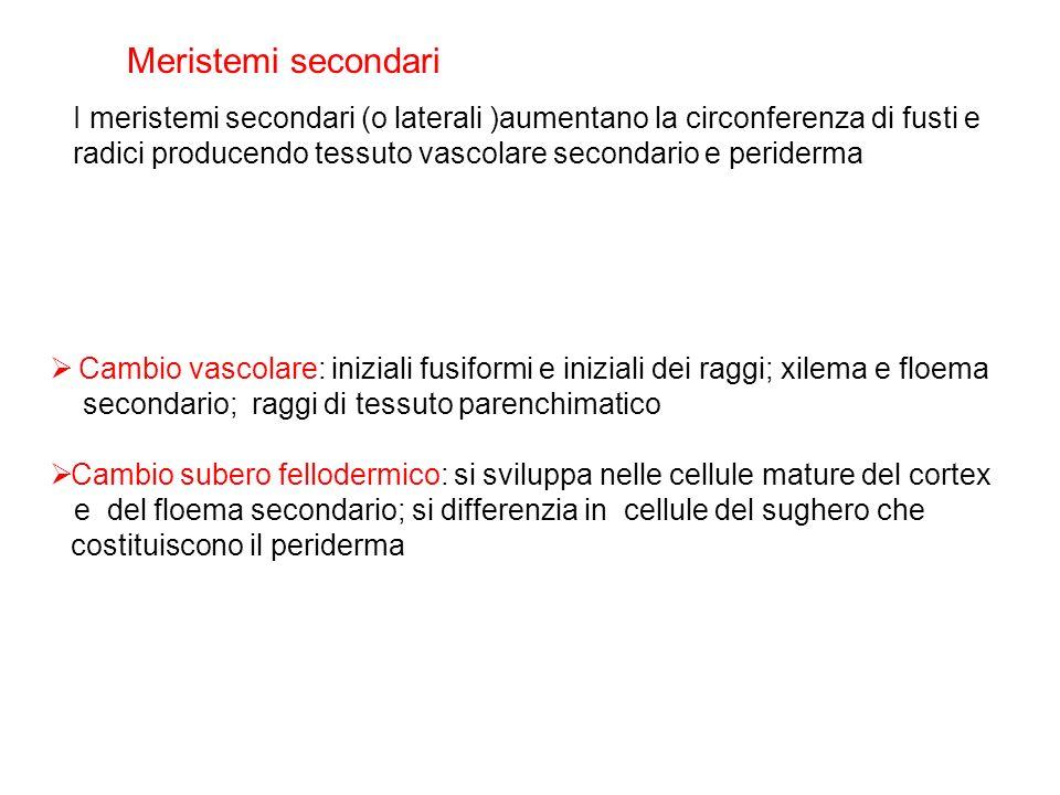 Cambio vascolare: iniziali fusiformi e iniziali dei raggi; xilema e floema secondario; raggi di tessuto parenchimatico Cambio subero fellodermico: si
