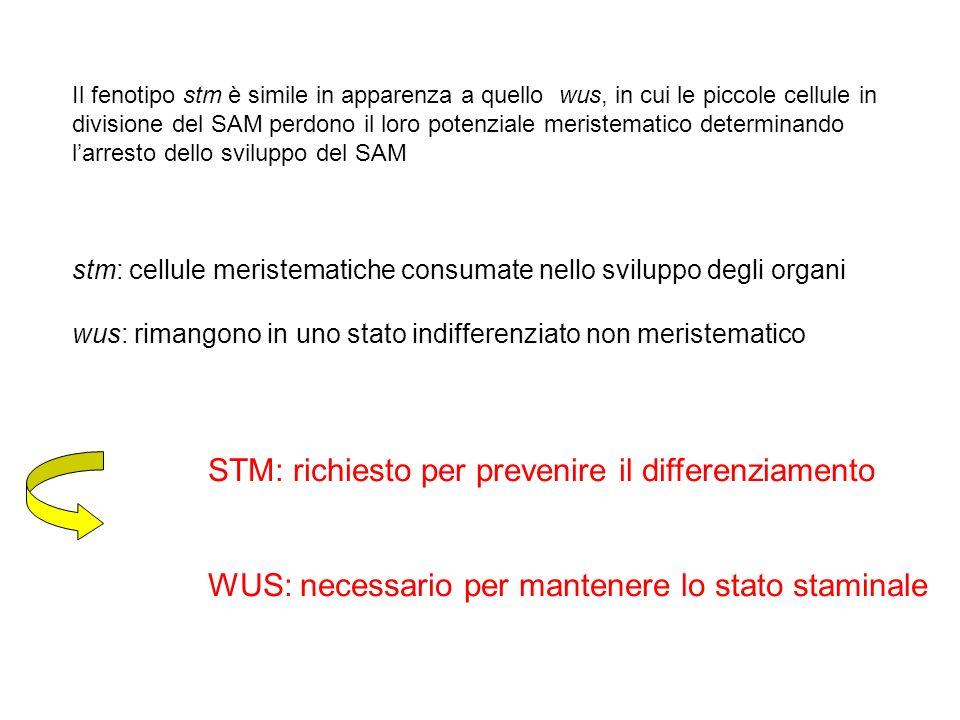 Il fenotipo stm è simile in apparenza a quello wus, in cui le piccole cellule in divisione del SAM perdono il loro potenziale meristematico determinan