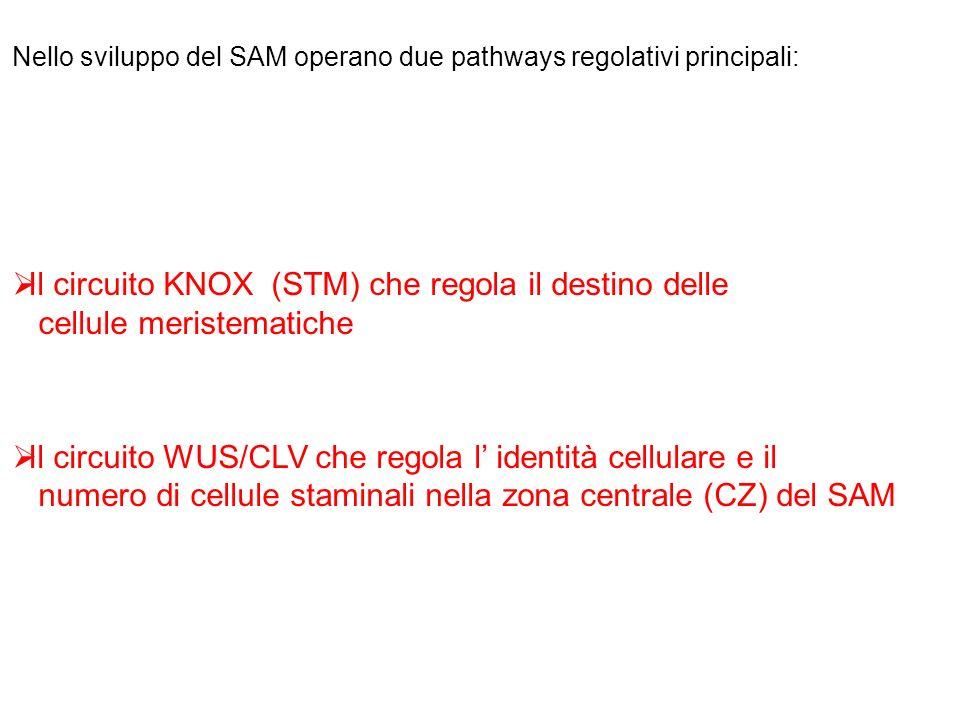 Nello sviluppo del SAM operano due pathways regolativi principali: Il circuito KNOX (STM) che regola il destino delle cellule meristematiche Il circui