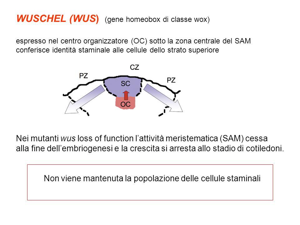 WUSCHEL (WUS) (gene homeobox di classe wox) espresso nel centro organizzatore (OC) sotto la zona centrale del SAM conferisce identità staminale alle c