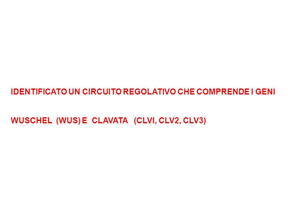 IDENTIFICATO UN CIRCUITO REGOLATIVO CHE COMPRENDE I GENI WUSCHEL (WUS) E CLAVATA (CLVI, CLV2, CLV3)
