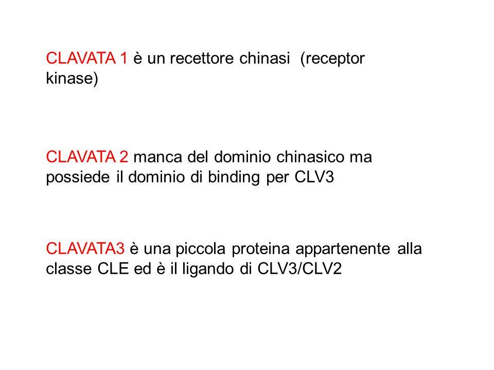 CLAVATA 1 è un recettore chinasi (receptor kinase) CLAVATA 2 manca del dominio chinasico ma possiede il dominio di binding per CLV3 CLAVATA3 è una pic