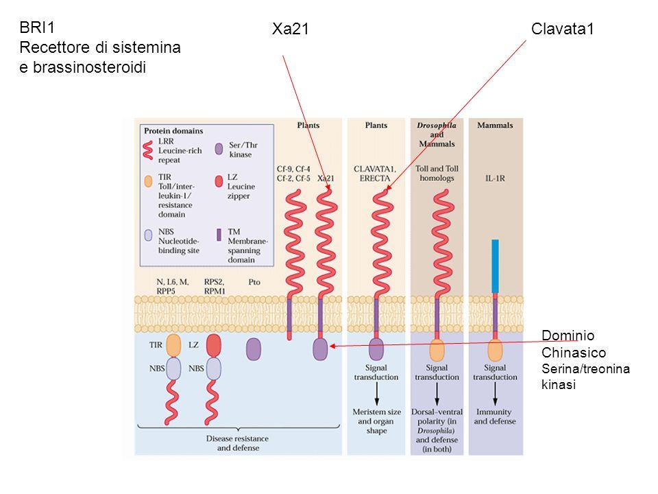 Dominio Chinasico Serina/treonina kinasi Xa21Clavata1 BRI1 Recettore di sistemina e brassinosteroidi