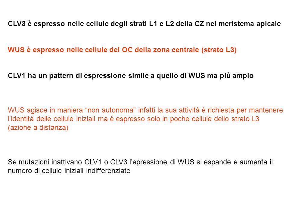 CLV3 è espresso nelle cellule degli strati L1 e L2 della CZ nel meristema apicale WUS è espresso nelle cellule del OC della zona centrale (strato L3)
