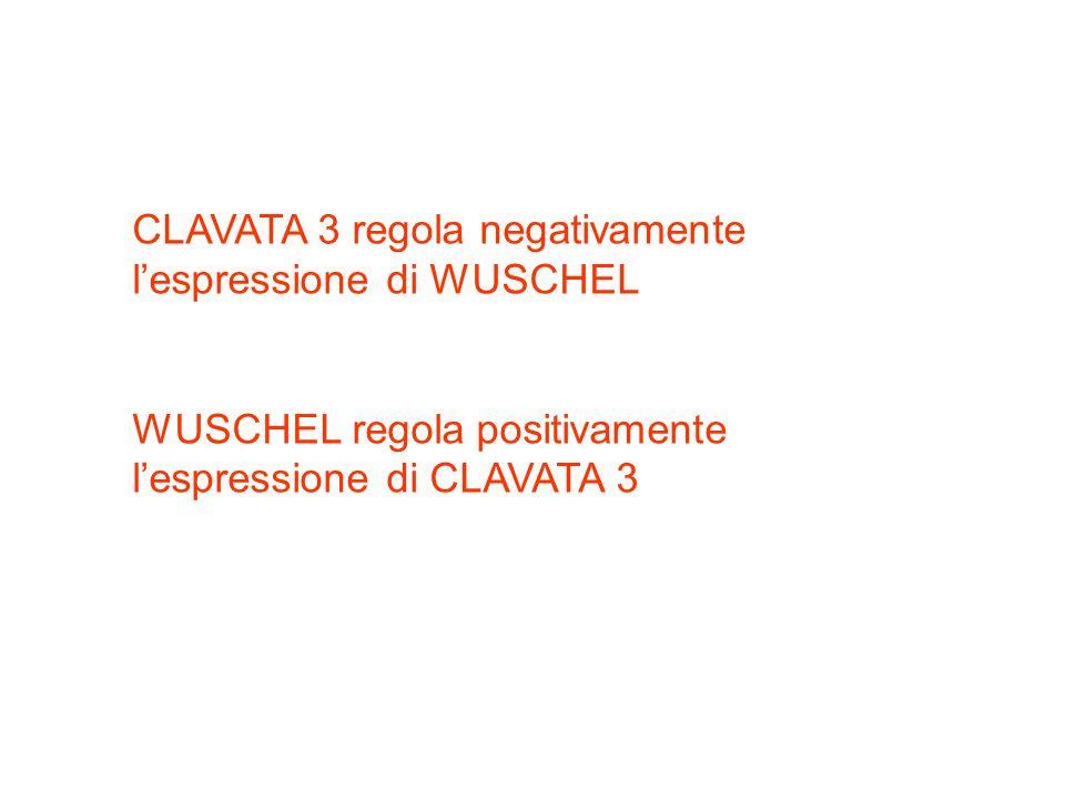 CLAVATA 3 regola negativamente lespressione di WUSCHEL WUSCHEL regola positivamente lespressione di CLAVATA 3