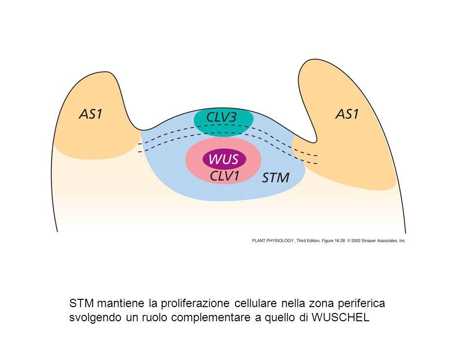 STM mantiene la proliferazione cellulare nella zona periferica svolgendo un ruolo complementare a quello di WUSCHEL