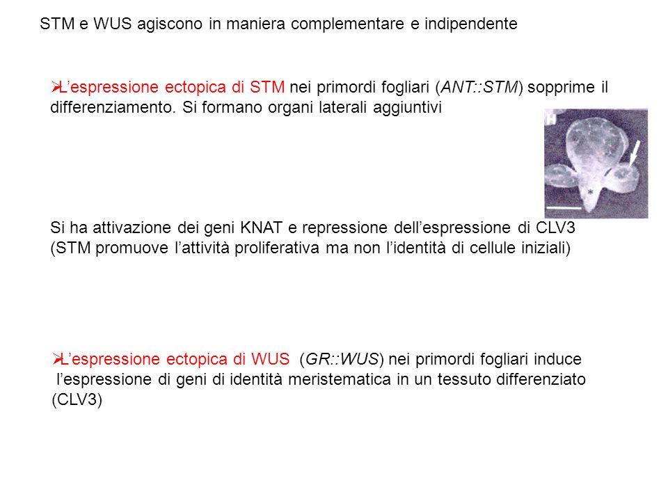 Lespressione ectopica di STM nei primordi fogliari (ANT::STM) sopprime il differenziamento. Si formano organi laterali aggiuntivi Si ha attivazione de