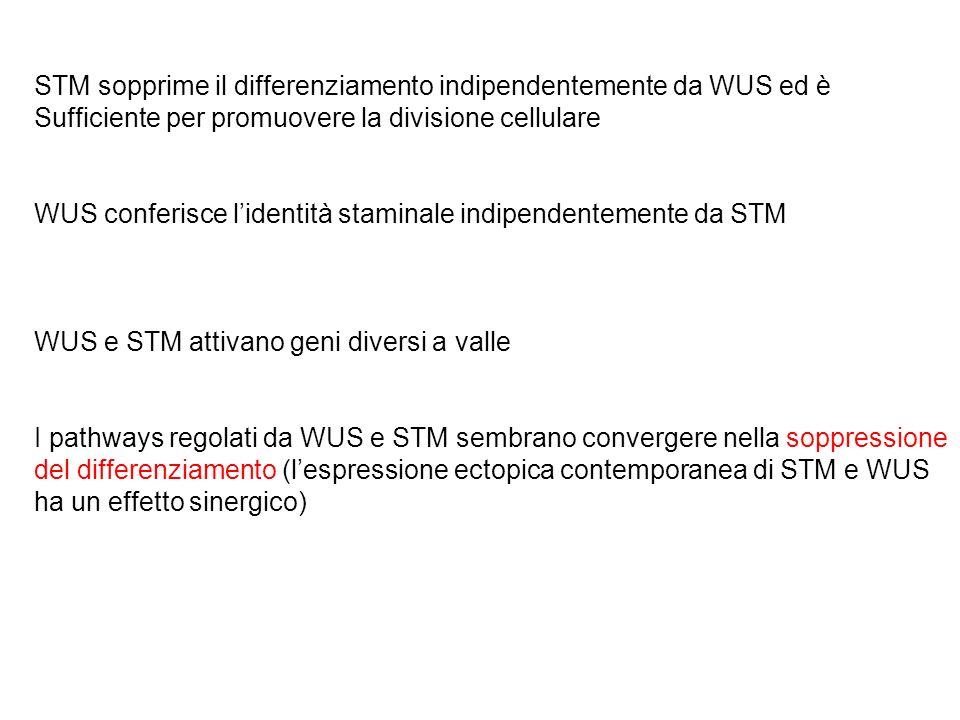 STM sopprime il differenziamento indipendentemente da WUS ed è Sufficiente per promuovere la divisione cellulare WUS conferisce lidentità staminale in