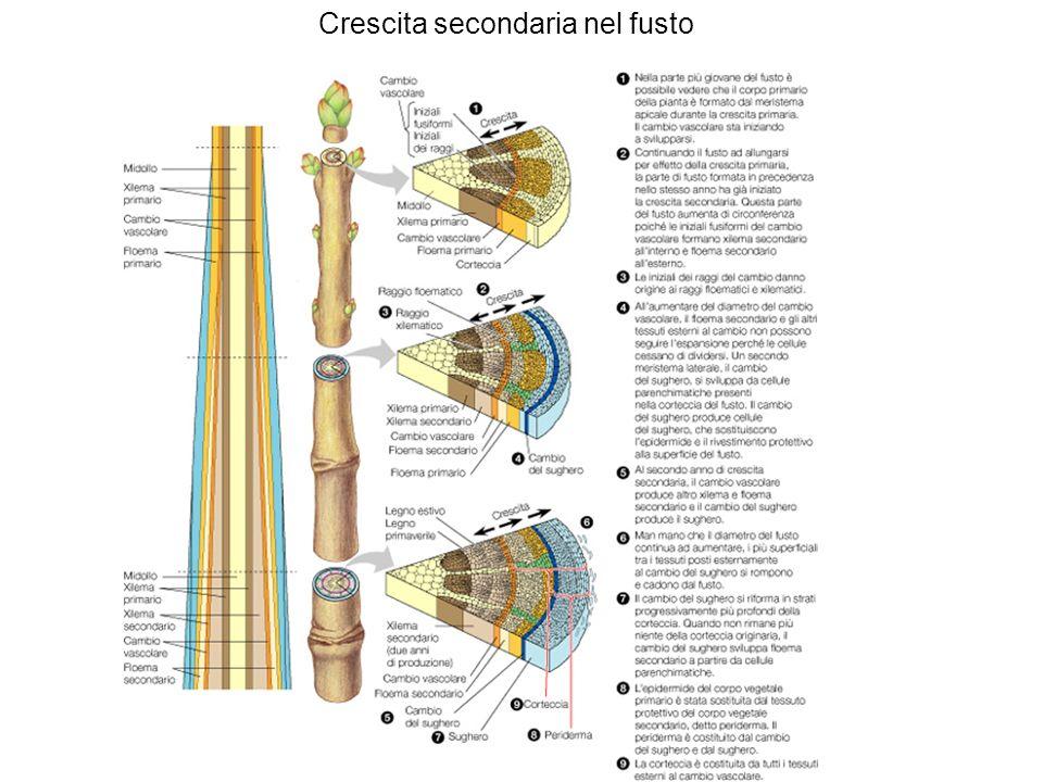 STRUTTURA DEL GERMOGLIO gemma apicale: primordi fogliari, meristema apicale (doma)