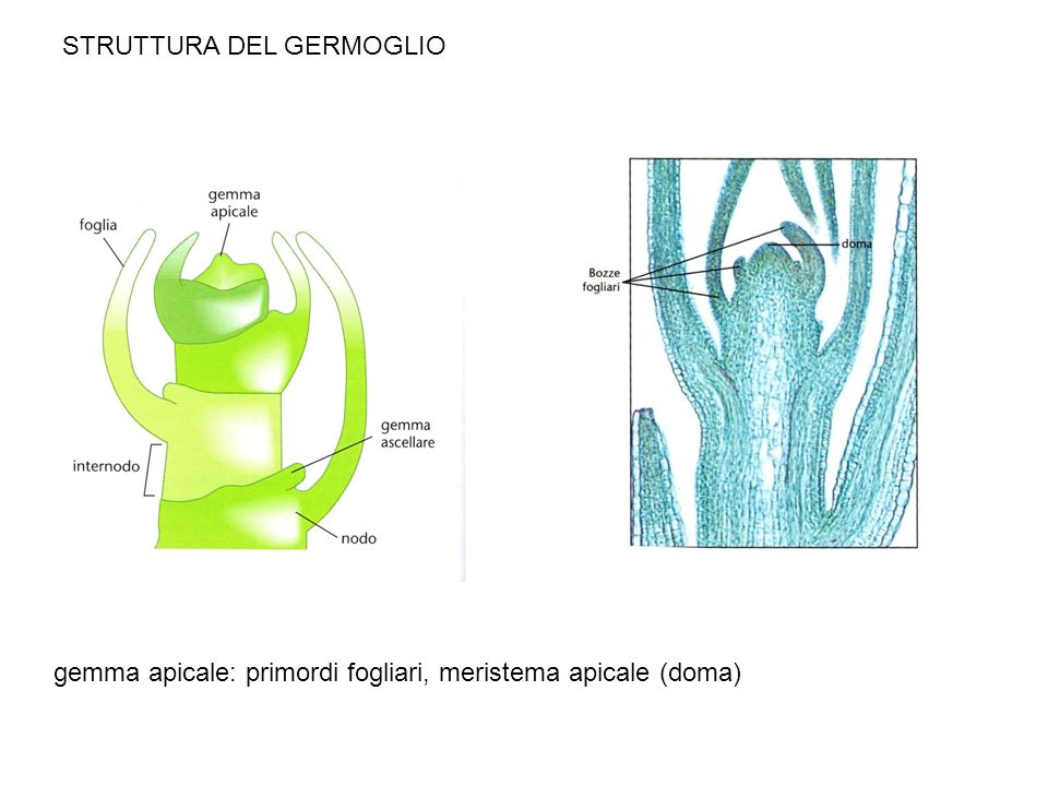 Meristema apicale del germoglio A crescita indeterminata genera il fusto e gli organi laterali ad esso attaccati: foglie e gemme laterali Contiene diversi strati e zone funzionali Fitomero: internodo con foglia e gemma ascellare