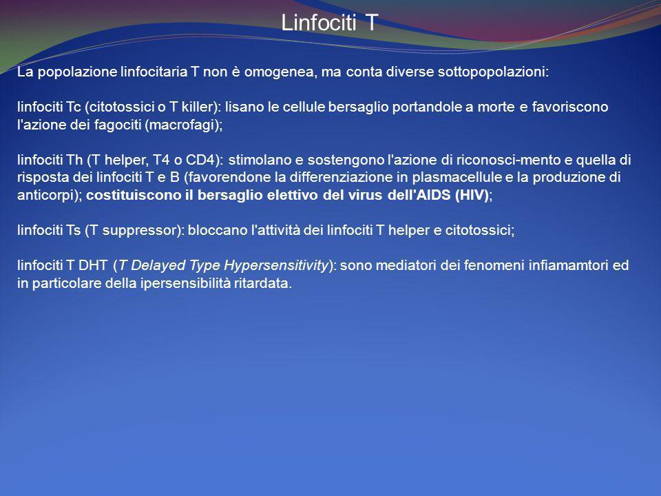 Linfociti T La popolazione linfocitaria T non è omogenea, ma conta diverse sottopopolazioni: linfociti Tc (citotossici o T killer): lisano le cellule