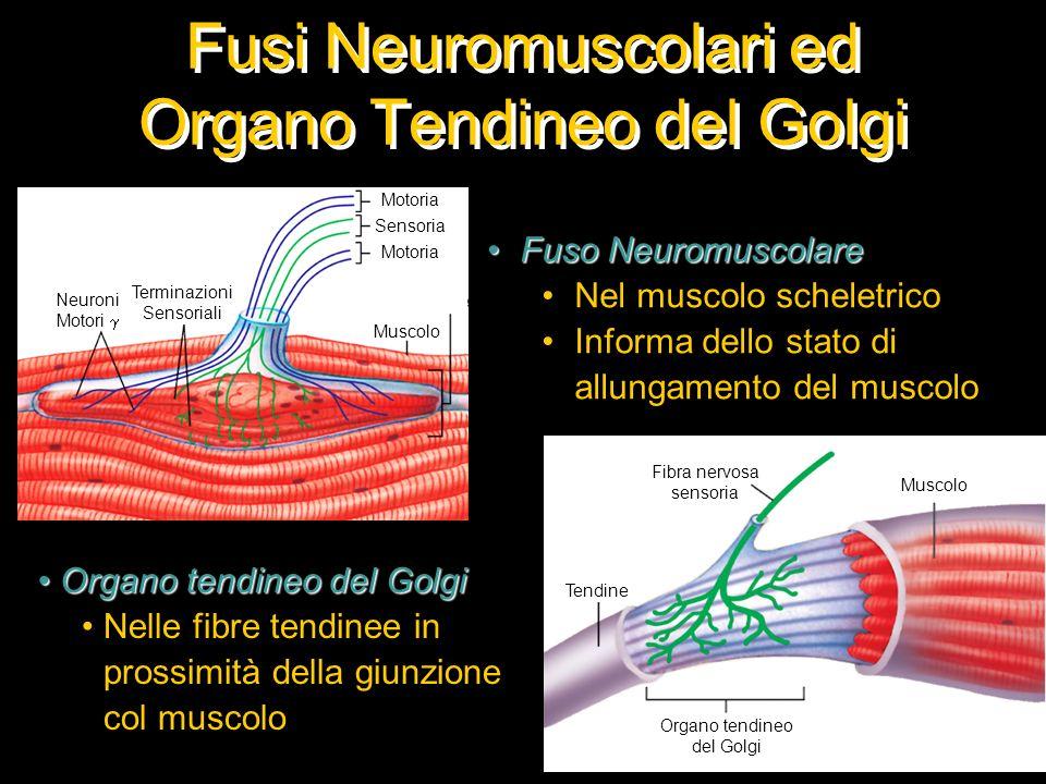 Fusi Neuromuscolari ed Organo Tendineo del Golgi Fuso NeuromuscolareFuso Neuromuscolare Nel muscolo scheletrico Informa dello stato di allungamento de