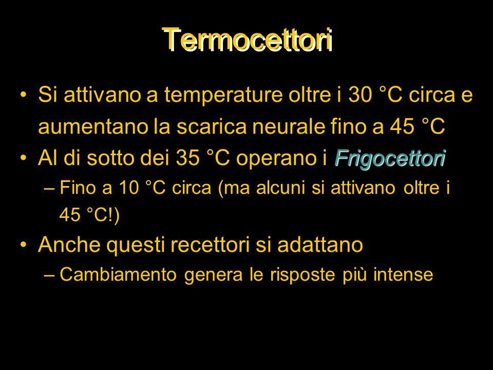 Termocettori Si attivano a temperature oltre i 30 °C circa e aumentano la scarica neurale fino a 45 °C FrigocettoriAl di sotto dei 35 °C operano i Fri