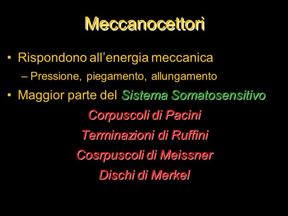 Meccanocettori Rispondono allenergia meccanica –Pressione, piegamento, allungamento Sistema SomatosensitivoMaggior parte del Sistema Somatosensitivo C