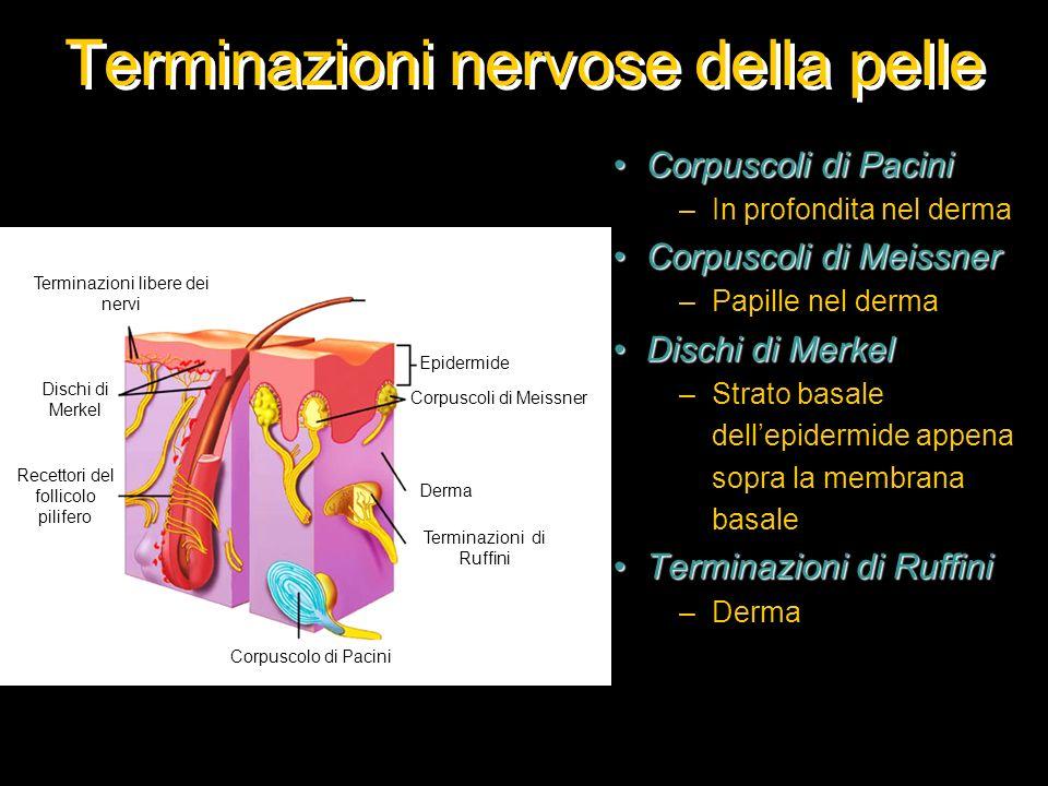 Terminazioni nervose della pelle Corpuscoli di PaciniCorpuscoli di Pacini –In profondita nel derma Corpuscoli di MeissnerCorpuscoli di Meissner –Papil