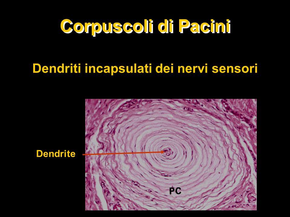 Corpuscoli di Pacini Dendriti incapsulati dei nervi sensori Dendrite