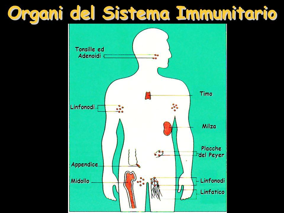 Organi del Sistema Immunitario Tonsille ed Adenoidi Linfonodi Timo Milza Placche del Peyer LinfonodiLinfatico Appendice Midollo