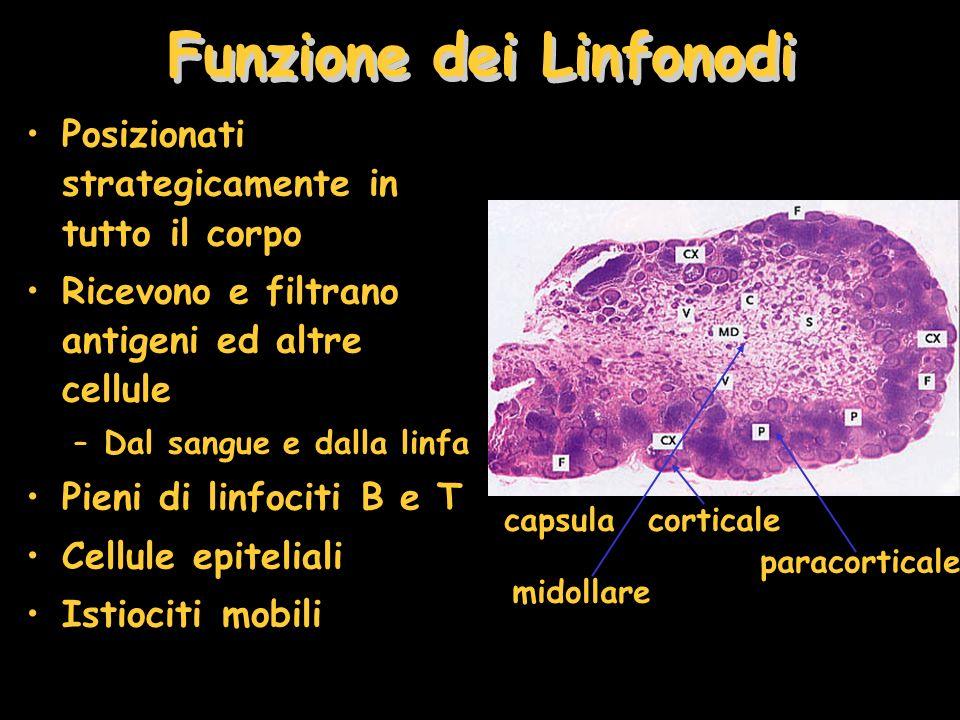 Funzione dei Linfonodi Posizionati strategicamente in tutto il corpo Ricevono e filtrano antigeni ed altre cellule –Dal sangue e dalla linfa Pieni di linfociti B e T Cellule epiteliali Istiociti mobili corticale capsula paracorticale midollare