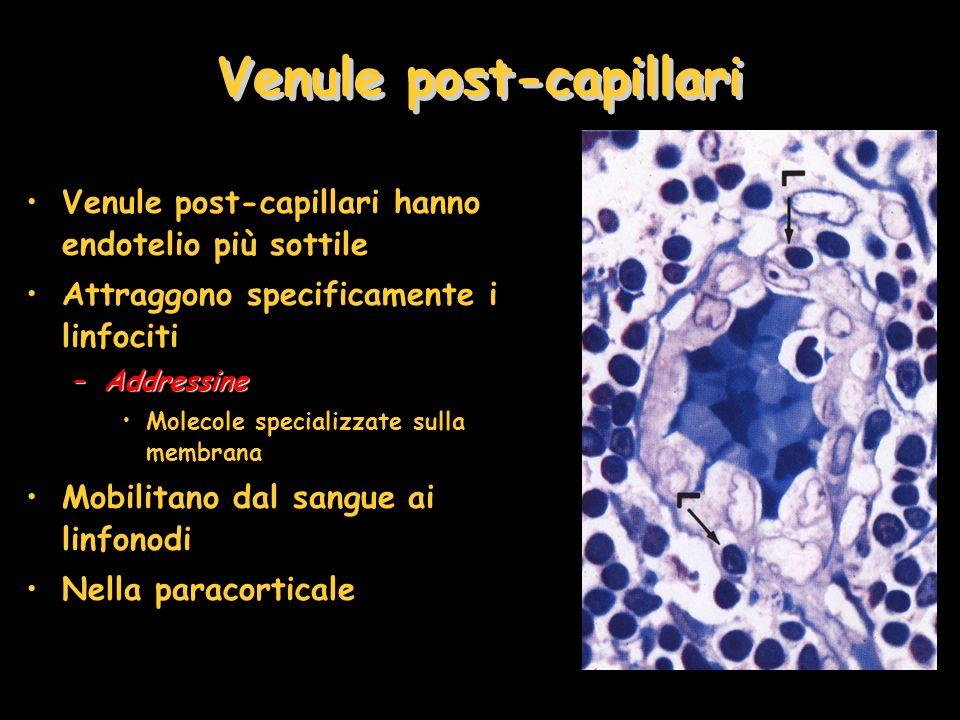 Venule post-capillari Venule post-capillari hanno endotelio più sottile Attraggono specificamente i linfociti –Addressine Molecole specializzate sulla membrana Mobilitano dal sangue ai linfonodi Nella paracorticale