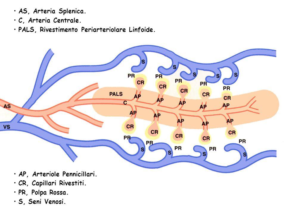 AS, Arteria Splenica.C, Arteria Centrale. PALS, Rivestimento Periarteriolare Linfoide.