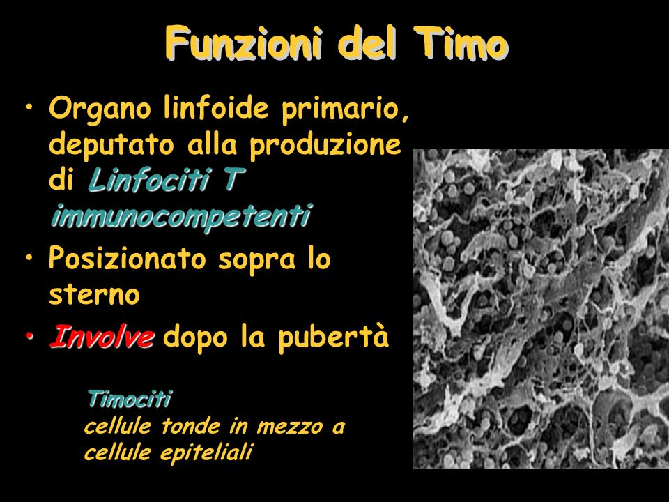 Funzioni del Timo Linfociti T immunocompetentiOrgano linfoide primario, deputato alla produzione di Linfociti T immunocompetenti Posizionato sopra lo sterno InvolveInvolve dopo la pubertà Timociti cellule tonde in mezzo a cellule epiteliali