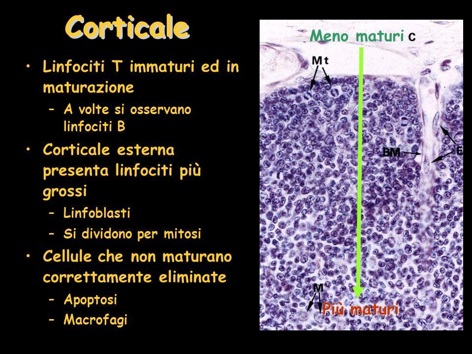 Corticale Linfociti T immaturi ed in maturazione –A volte si osservano linfociti B Corticale esterna presenta linfociti più grossi –Linfoblasti –Si dividono per mitosi Cellule che non maturano correttamente eliminate –Apoptosi –Macrofagi Meno maturi Più maturi
