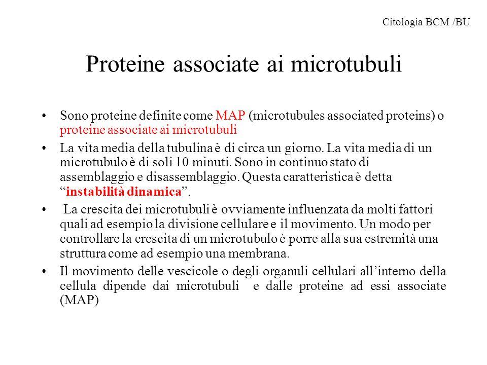 Proteine associate ai microtubuli Sono proteine definite come MAP (microtubules associated proteins) o proteine associate ai microtubuli La vita media