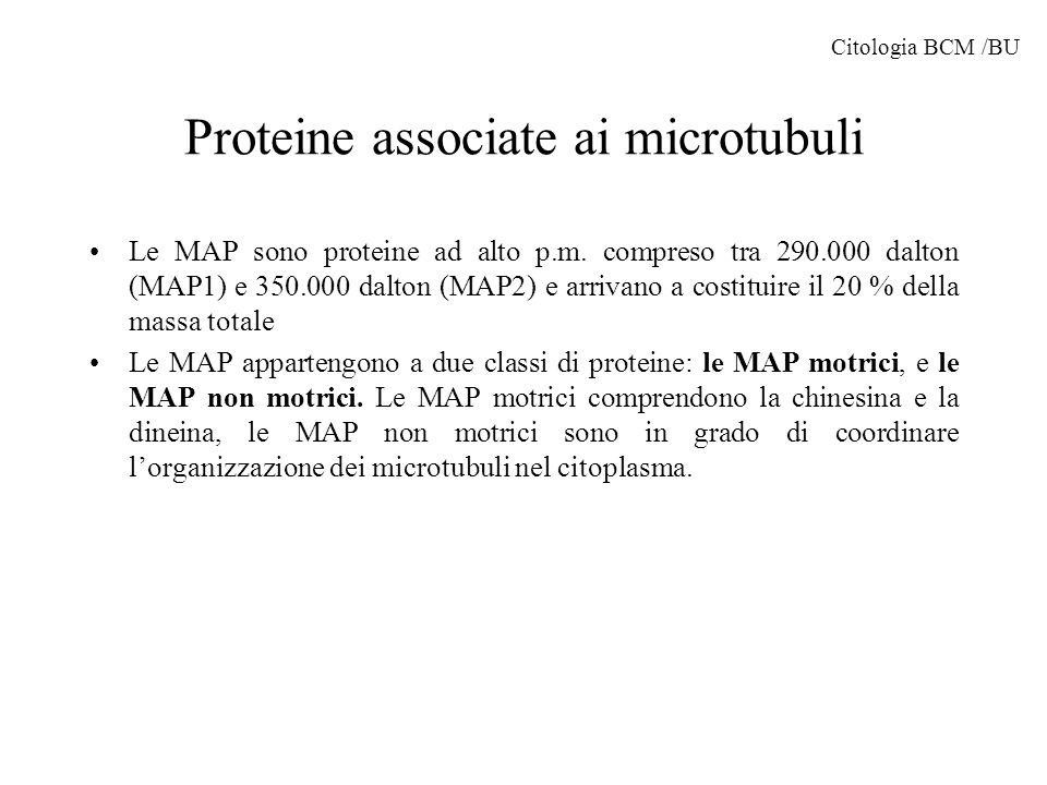 Proteine associate ai microtubuli Le MAP sono proteine ad alto p.m. compreso tra 290.000 dalton (MAP1) e 350.000 dalton (MAP2) e arrivano a costituire