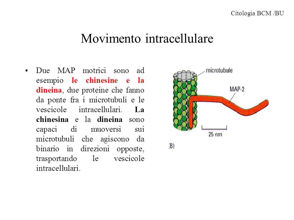 Movimento intracellulare Due MAP motrici sono ad esempio le chinesine e la dineina, due proteine che fanno da ponte fra i microtubuli e le vescicole i