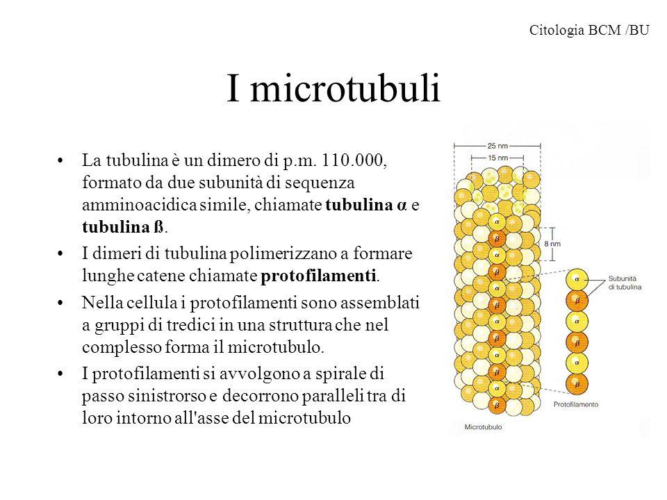 Formazione dei microtubuli Il primo stadio di formazione è detto nucleazione e richiede tubulina, magnesio e GTP.