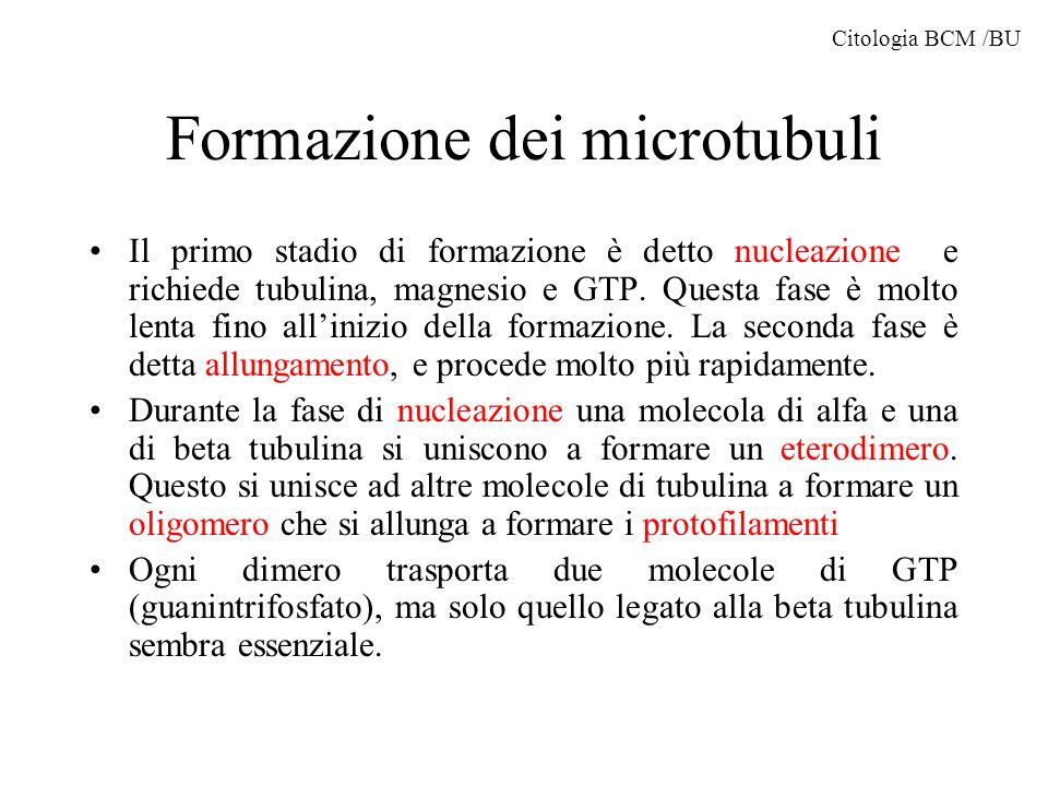Formazione dei microtubuli Ogni volta che una molecola di tubulina si lega al complesso polimerico il GTP è idrolizzato a GDP.