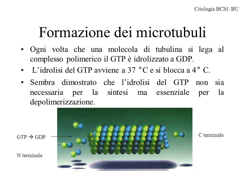 Formazione dei microtubuli La formazione dei microtubuli avviene in un area denominata MTOC o centro organizzatore dei microtubuli I microtubuli sono polarizzati con una parte negativa a crescita lenta (ove arrivano le molecole di GTP) e una parte positiva a crescita rapida.