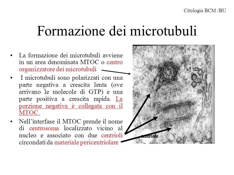 Formazione dei microtubuli La formazione dei microtubuli avviene in un area denominata MTOC o centro organizzatore dei microtubuli I microtubuli sono