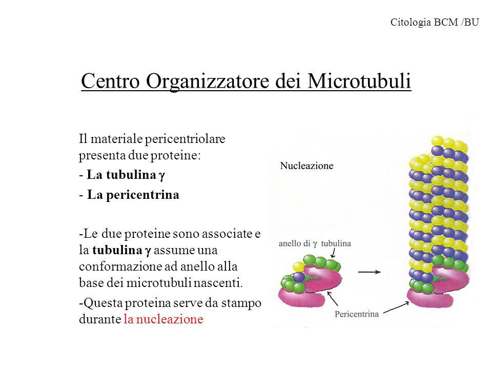 Centro Organizzatore dei Microtubuli Il materiale pericentriolare presenta due proteine: - La tubulina - La pericentrina -Le due proteine sono associa