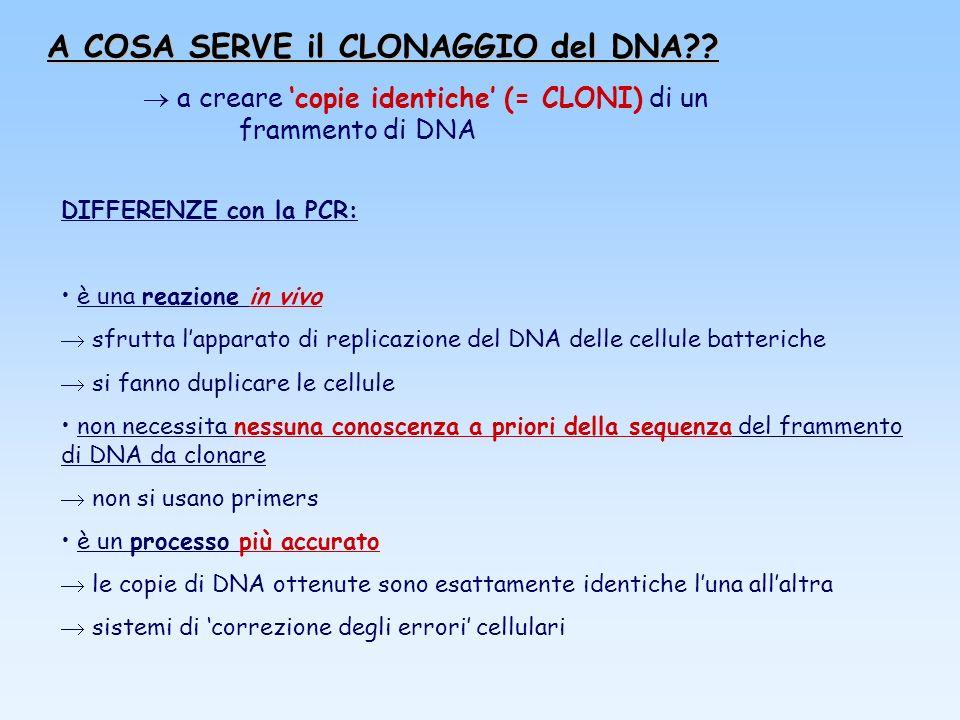 A COSA SERVE il CLONAGGIO del DNA?? a creare copie identiche (= CLONI) di un frammento di DNA DIFFERENZE con la PCR: è una reazione in vivo sfrutta la