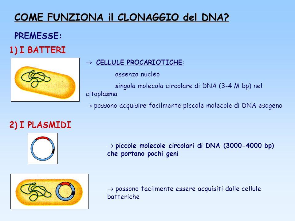COME FUNZIONA il CLONAGGIO del DNA? PREMESSE: 1) I BATTERI CELLULE PROCARIOTICHE: assenza nucleo singola molecola circolare di DNA (3-4 M bp) nel cito