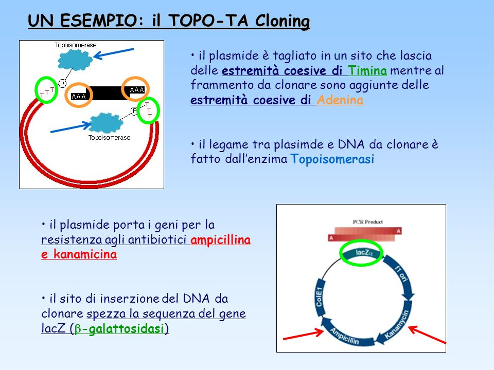 UN ESEMPIO: il TOPO-TA Cloning il plasmide è tagliato in un sito che lascia delle estremità coesive di Timina mentre al frammento da clonare sono aggi