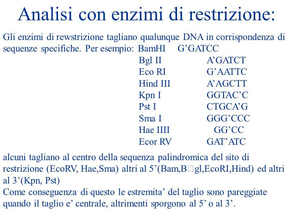 Analisi con enzimi di restrizione: Gli enzimi di rewstrizione tagliano qualunque DNA in corrispondenza di sequenze specifiche. Per esempio: BamHI GGAT