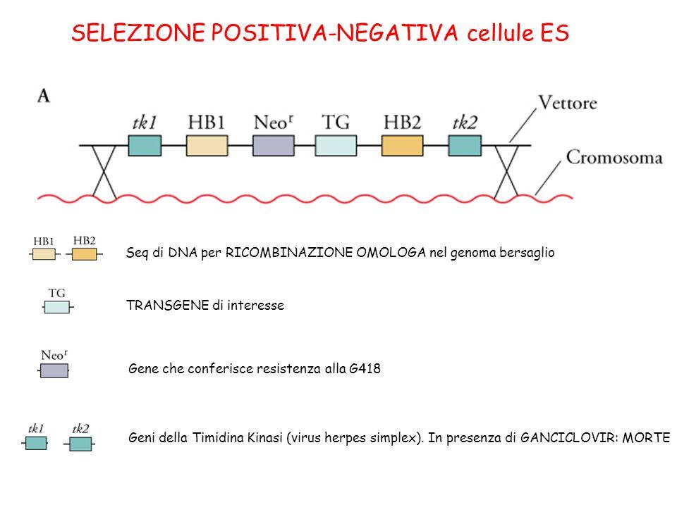 SELEZIONE POSITIVA-NEGATIVA cellule ES Seq di DNA per RICOMBINAZIONE OMOLOGA nel genoma bersaglio TRANSGENE di interesse Gene che conferisce resistenz