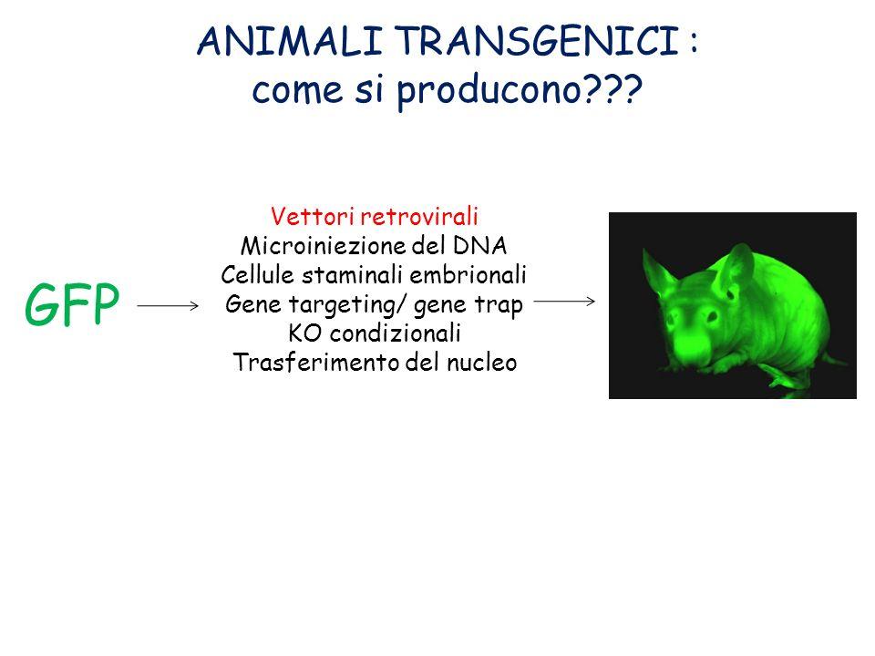 CALCIO FOSFATO CALCIO FOSFATO Il DNA a contatto con una soluzione di fosfato di calcio forma dei precipitati i quali, con un meccanismo poco noto (probabilmente per endocitosi) entrano nelle cellule LIPOSOMILIPOSOMI Lipidi che permettono la formazione di vescicole liposomiali Il DNA allinterno entra nella cellula mediante fusione vesciola-membrana ELETTROPORAZIONEELETTROPORAZIONE IDENTIFICAZIONE di ES CELLS con TRANSGENE integrato nel sito corretto SELEZIONE POSITIVA/NEGATIVA PCR Scarica elettrica che altera la permeabilità della membrana generando buchi e permettendo lentrata di DNA esogeno Integrazione Sito specifica RICOMBINAZIONE OMOLOGA