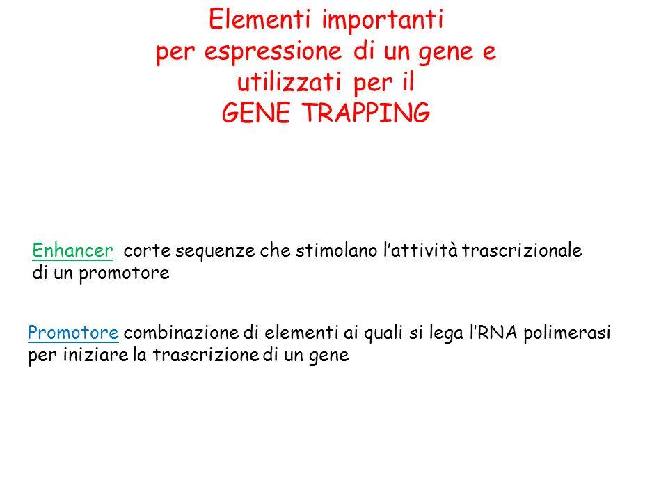Elementi importanti per espressione di un gene e utilizzati per il GENE TRAPPING Promotore combinazione di elementi ai quali si lega lRNA polimerasi p