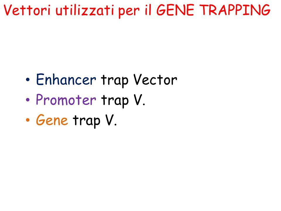 Enhancer trap Vector Promoter trap V. Gene trap V. Vettori utilizzati per il GENE TRAPPING