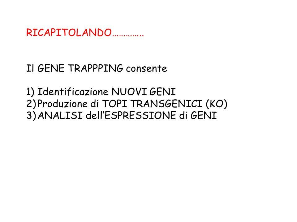 RICAPITOLANDO………….. Il GENE TRAPPPING consente 1)Identificazione NUOVI GENI 2)Produzione di TOPI TRANSGENICI (KO) 3)ANALISI dellESPRESSIONE di GENI